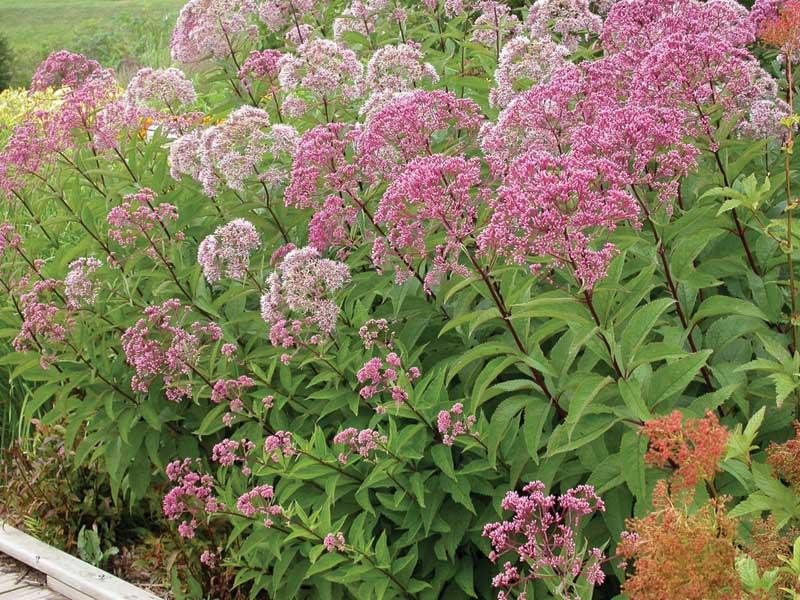 Growing native flowers east coast living for Joe pye weed