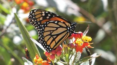 monarchoncurassavica