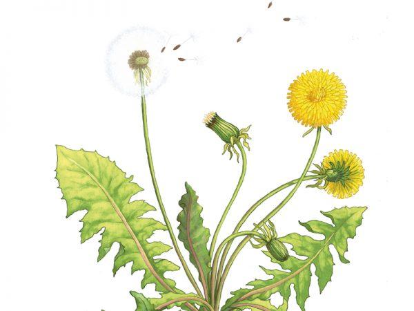 Dandelion Illustration by Brenda Jones